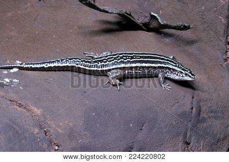 beautiful lizard Portugal