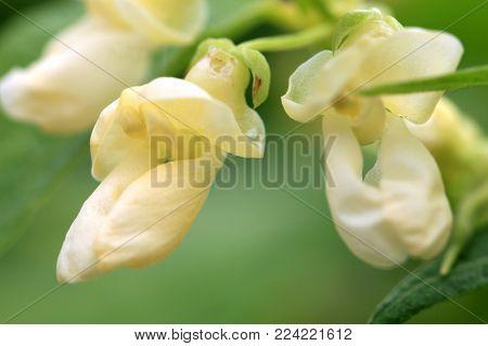 White flower of dwarf bean in ecofriendly country home garden.