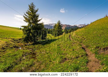 path along the grassy slope in forested area. beautiful springtime landscape of Ukrainian alps. mountain ridge with snowy tops in the distance