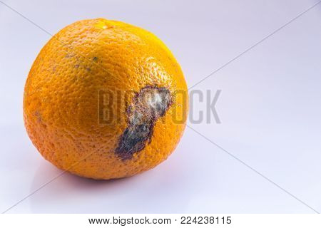 Citrus Fruit is rotten. An orange mandarin with a mold ulcer on a white background. Copy space. Close-up.