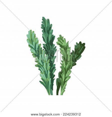 Aquatic marine algae plant, underwater seaweed vector Illustration on a white background