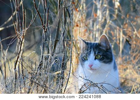 Cat middle of leafless bush. Horizontal image with space for text.