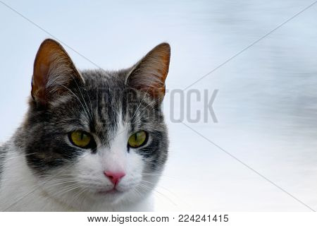 Gray and white cat head close up with space for text.