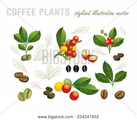 Collection of coffee beans on a branch of coffee tree, ripe and unripe berries isolated on white background