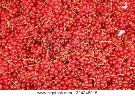 A Bunch Of Freshly Picked Red Currant Berries