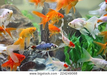 A Group Of Goldfishes In A Freshwater Aquarium