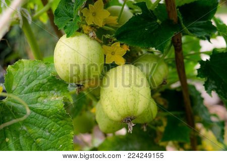 Apple cucumbers growing on plant in garden with yellow flowers and leaves. Leaves have some mildew disease. Photographed in New Zealand, NZ.