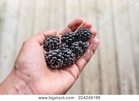 Hand holding harvest of large freshly picked blackberries against simple wood decking background with copy space.