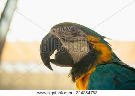Parrot Ara Macaw blue and yellow portrait of a close-up.