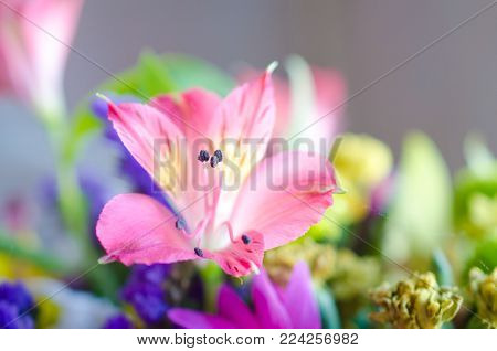 Beautiful blurred pink lily flower (very shallow DOF, selective focus)