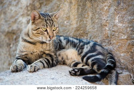 Beautiful Tabby cat lying on stone surface on the street of city look in side on the background of the stone walls. Cat walking on its own in town Kotor, in Montenegro, Europe