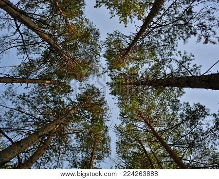 Autumn forest. Pine in the sky. Bottom view. Autumn sky. Walk in the woods. Healthy lifestyle.
