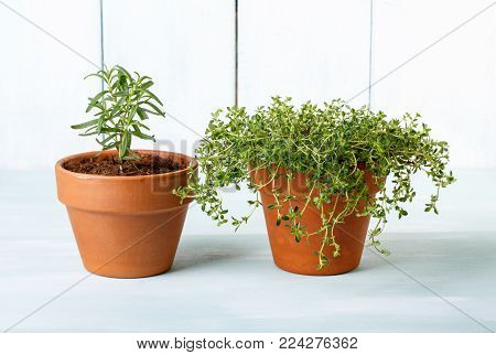 Potted herbs. Rosemary and thyme plant in clay pots.