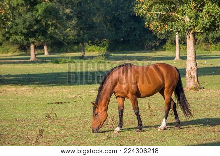 Horse grazing in the field for fresh grass during daytime