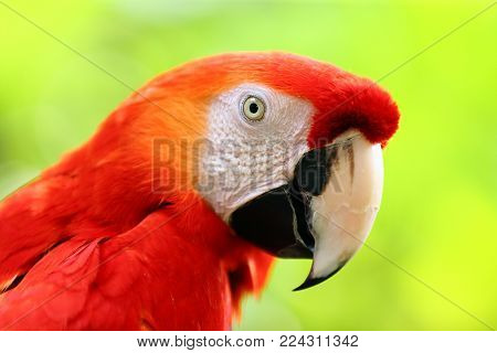 Face of The scarlet macaw (Ara macao) is a large red, yellow, and blue South American parrot, a member of a large group of Neotropical parrots called macaws. at bright nature background