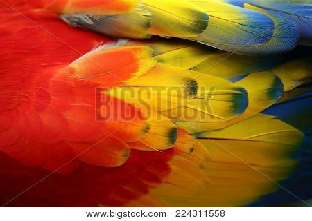 Feather vivid color of The scarlet macaw (Ara macao) is a large red, yellow, and blue South American parrot, a member of a large group of Neotropical parrots called macaws. Colorful exotic nature background and texture