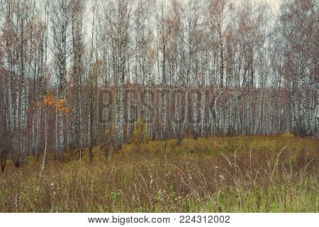 Beautiful birch autumn forest with vibrant colourful leaves, Russia, Siberia. Landscape autumn forest and field.