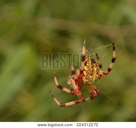 Spider(lat. Araneus) is a genus of araneomorph spiders of the family of Orb-web spiders (Araneidae). Spider, or Crusader, got its name from the cross on the back. Araneus feeds, as a spider using the web. Network of adult female spider has a fixed number