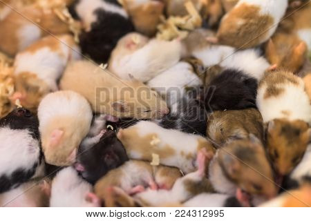 Group Of Young Hamster Mouses