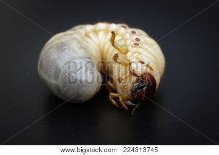 Image of grub worms, Coconut rhinoceros beetle (Oryctes rhinoceros), Larva on black background.