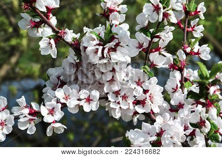A branch of cherry blossoms. Spring flowers.
