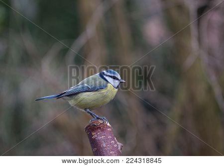 one bird tit on a tree background