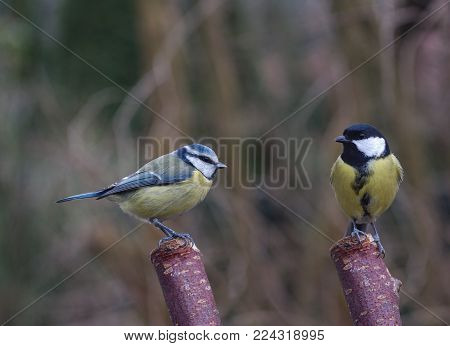 two bird tit on a tree background