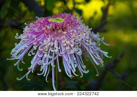 Spectacular Spider Chrysanthemum in an enchanted garden or forest.