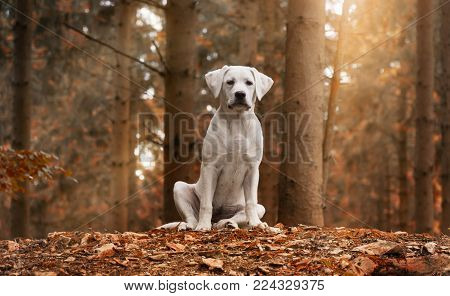 White cute small labrador retriever dog puppy sitting in the forest during autumn walk