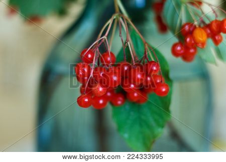 Guelder-rose fruits with leaves on branches indoor