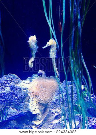 Two tiny seahorse swimming together in a tank