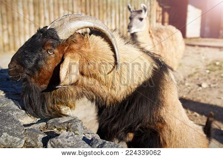 Mountain goat and llama in the zoo. Animals in the city zoo