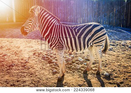 Zebra at the zoo. African animals in the city zoo