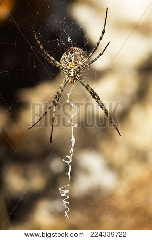 Argiope Lobata Spider And Web In Ventral View