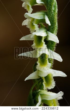 Flowers Detail Of Autumn Lady's Tresses Orchid - Spiranthes Spiralis