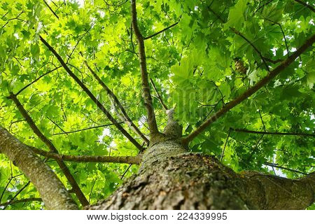 Green summer background. view of green tree from bottom up. Look up under the tree. Trunk, branches and leaves of a tree. Natural plant.