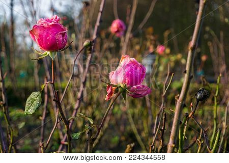 View on a blooming Bed of Roses in the morning Light. Blooming Roses. Close-up of beautiful purple Roses. Blooming Flowers and Plants.