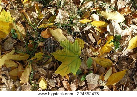 One greenish yellow fallen leaf of maple on the ground