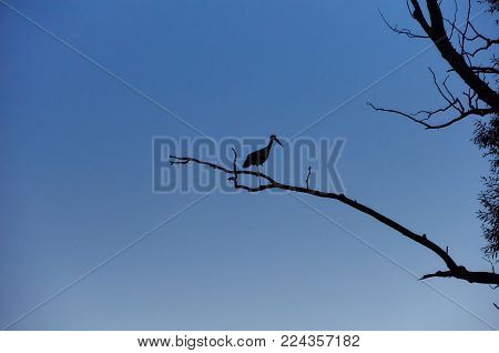 Silhouette of Stork Standing on One Leg on Dry Tree Branch