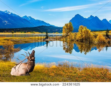 Magnificent Canadian deer with branched horns resting on the shore of the lake. Indian Summer in the Rockies of Canada. Concept of ecological and active tourism