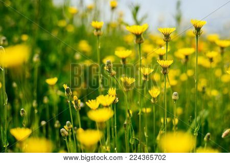 on the green field grow fragrant yellow spring flowers