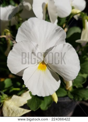 White Pansy Flower, Botany And Garden Decoration