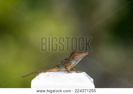 Lizard close up macro animal portrait photo. The reptile on the white parapet and blurred gren background. Animal is looking right on you. Anolis distichus in Caribbean islands.