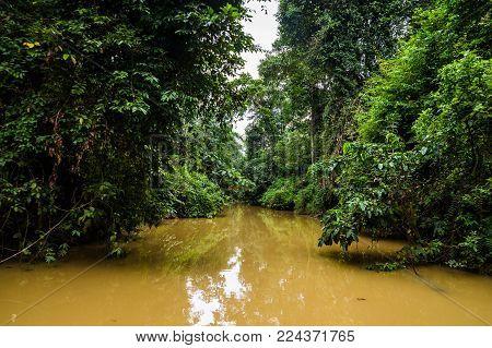 lush rainforest along yellow water tributary of Kinabatangan river, Sabah, Borneo. Malaysia.
