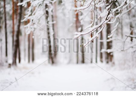 Frosty tree branches with snow in winter forest. In the foreground the bare branches of trees in snow in winter forest. In the background trees, snow drifts. The background is blurred.