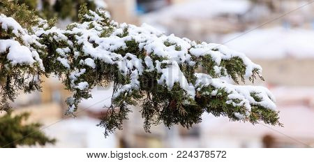 Frozen cypress branch covered with snow at winter time. Blurred backdrop, close up view with details
