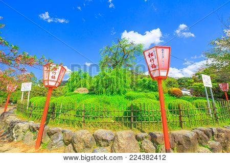 Kyoto, Japan - April 24, 2017: japanese lantern around large shidarezakura or weeping cherry tree at Maruyama Park, the Kyoto's most famous cherry-blossom viewing hanami spot. Spring season, blue sky.
