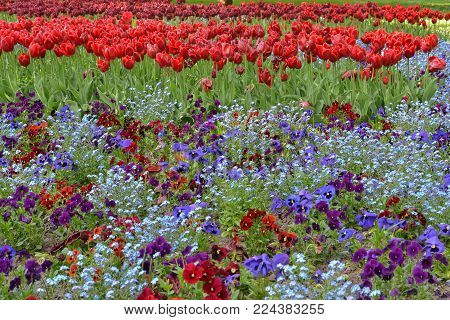 red tulip and colorful pansies in a field full of flowers