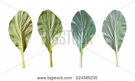 Choy or Cantonese of green leaves vegetable set isolated on white background and have clipping paths with create from pen tool function.