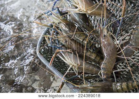 Fresh giant prawns on sieve in the market